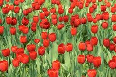 Tulip parterre Royalty Free Stock Image