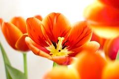 Tulip passion Stock Image