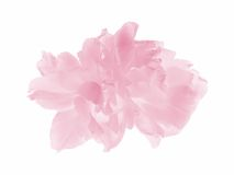 Tulip pastel cor-de-rosa Imagem de Stock Royalty Free