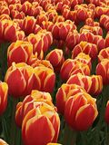 Tulip pattern. A pattern of residence dual colored tulips Stock Photography