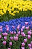 Tulip Patterns Stock Image