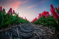 Tulip Perspective. Blue hour at the tulip fields. All is silent but the creacking sound of the tulips Stock Photography