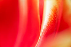 Tulip Petal Abstract Stockfotografie