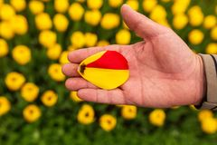 Tulip petal in hand in nature.  stock photography