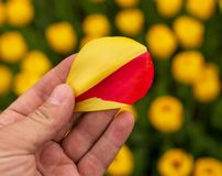 Tulip petal in hand in nature.  royalty free stock photo