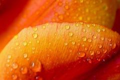Tulip Petal Macro Stock Foto's