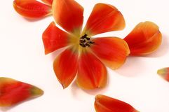 Tulip petal on white  background Stock Photo