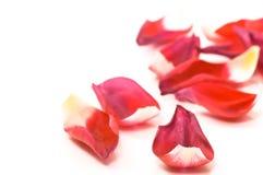 Tulip petals Stock Image