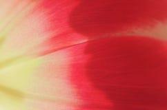 Tulip petals close up Stock Photography