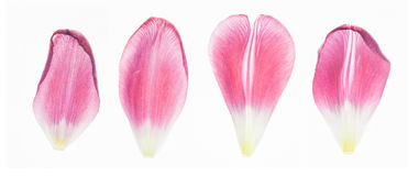 Tulip petals / high resolution. In front of a white background four pieces of tulip petals. high resolution. amazing details Stock Photo