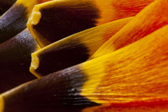 Tulip petals macro Royalty Free Stock Photo