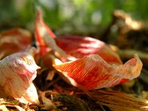 Tulip Petals tombée Image stock