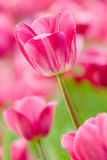 Tulip pink Royalty Free Stock Photos
