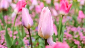 Tulip of pink color close-up. The camera moves back on the slider. Color correction. stock footage