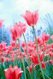Tulip. Pink tulip In early spring royalty free stock photos