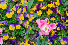 Tulip pink flower with small pansy flower. Stock Photos