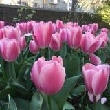 Tulip Pink Flowers Royaltyfri Bild