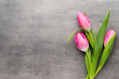 Tulip pink, on the gray background. Royalty Free Stock Photo
