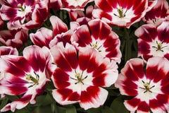Tulip Plant Fotografia Stock Libera da Diritti