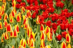 Tulip Plant Fotografie Stock Libere da Diritti