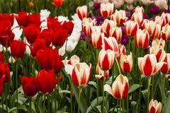 Tulip Plant Immagini Stock