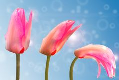 Tulip, Plant, Blossom, Bloom Stock Images