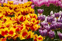 Tulip Plant Royalty Free Stock Images