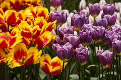 Tulip Plant. The tulip is a perennial, bulbous plant with showy flowers in the genus Tulipa, of which around 75 wild species are currently accepted and which Royalty Free Stock Images