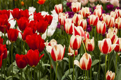 Tulip Plant. The tulip is a perennial, bulbous plant with showy flowers in the genus Tulipa, of which around 75 wild species are currently accepted and which Stock Images