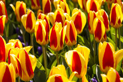 Tulip Plant. The tulip is a perennial, bulbous plant with showy flowers in the genus Tulipa, of which around 75 wild species are currently accepted and which Royalty Free Stock Image