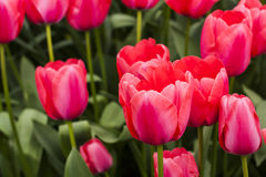 Tulip Plant Royalty Free Stock Photography