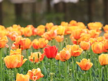 Tulip. Is planted around the world, is the Netherlands, New Zealand, Iran, Turkey, Turkmenistan and other countries of the country flower, known as the world Royalty Free Stock Photo
