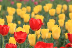 Tulip. Is planted around the world, is the Netherlands, New Zealand, Iran, Turkey, Turkmenistan and other countries of the country flower, known as the world Stock Image