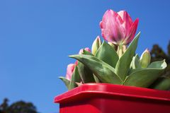 Tulip on planter. Red tulip flower on red planter under blue sky Stock Photos