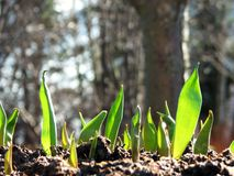 Tulip plants growing from soil Royalty Free Stock Images