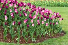 Tulip Plants i rabatt royaltyfri bild