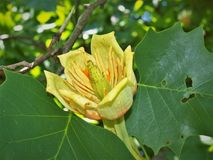 Flower of Tulip Poplar Tree. The tulip poplar also called tulip tree is actually more closely related to magnolia than either a tulip or a poplar Royalty Free Stock Photo