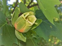 Flower of Tulip Poplar Tree. The tulip poplar also called tulip tree is actually more closely related to magnolia than either a tulip or a poplar Stock Image