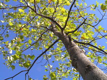 Tulip Poplar from Below Stock Images