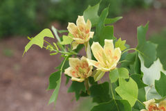 Tulip Poplar Flowers Fotos de Stock