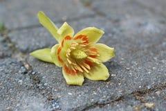 Tulip Poplar Flowers on Stone. Yellow and Orange Liriodendron tulipifera Tulip Poplar Flowers on Stone Stock Photography
