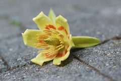 Tulip Poplar Flowers on Stone. Yellow and Orange Liriodendron tulipifera Tulip Poplar Flowers on Stone Stock Images