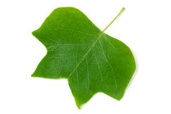 A Tulip poplar leaf or Liriodendron tulipifera isolated on a white background Stock Photos