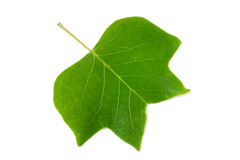 A Tulip poplar leaf or Liriodendron tulipifera isolated on a white background Royalty Free Stock Photos