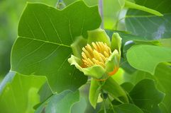 Tulip Poplar Royalty Free Stock Images