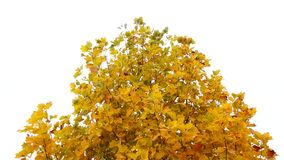 Tulip poplar tree in autumn. Fall background. Tulip poplar tree in the park. Yellow leaves waving in the wind. Liriodendron tulipifera. High definition Full HD stock video footage