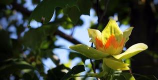 Tulip Poplar Tree in der Blüte Lizenzfreie Stockfotos