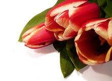Tulip postcard1 Fotografia de Stock