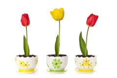 Tulip in the pot. On white background royalty free stock photos