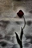 Tulip preto Foto de Stock